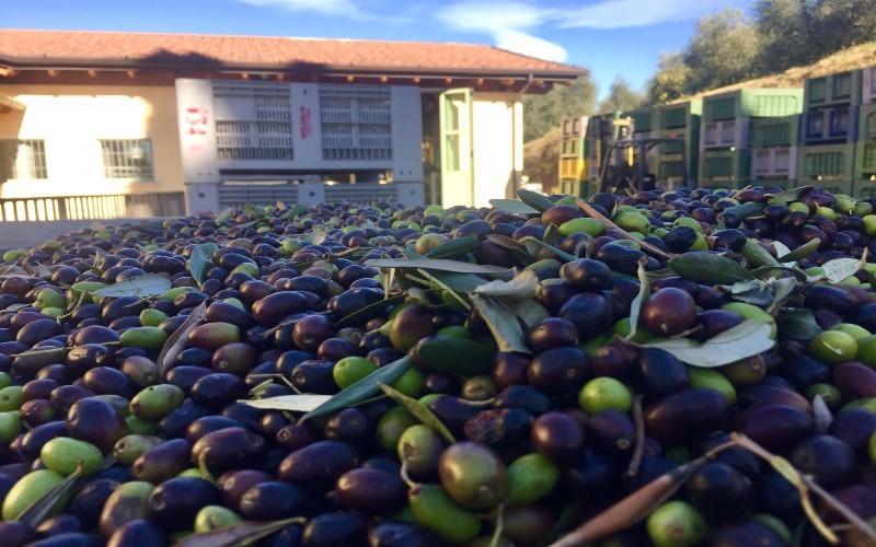 media/image/Foto-raccolta-olive-1.jpg